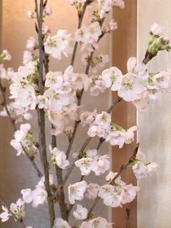 桜満開^^